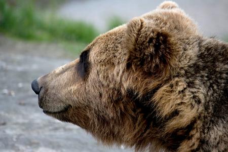 Closeup photo of the head of a brown bear. Standard-Bild