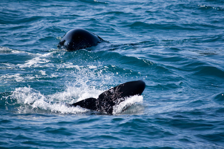 A playful orca flips its tail and head out of the ocean near Seward, Alaska.