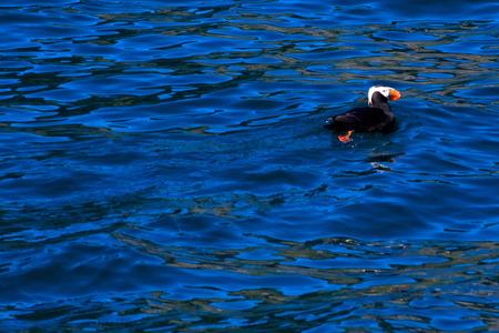 A puffin swims on top of the ocean near Seward, Alaska.