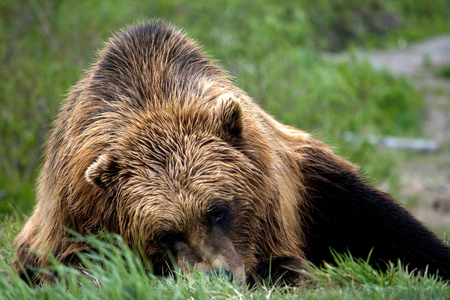 A brown bear laying on the ground in a meadow in Alaska. 写真素材