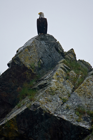 A bald eagle perches on a rock near Seward, Alaska