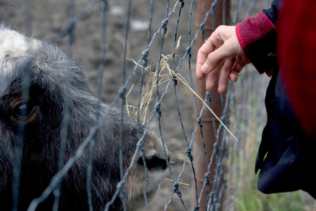 A hand of a person feeding hay to a musk ox kept behind a wire fence.