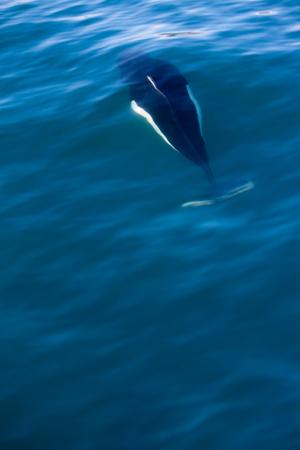 A black and white dall porpoise swimming under the water near Seward, Alaska. Stock Photo