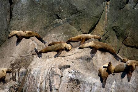 A large group of sea lions sunning on the rocks of Alaska's coast.