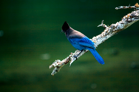 A bright blue stellar jay perched on a branch in foreground. 写真素材