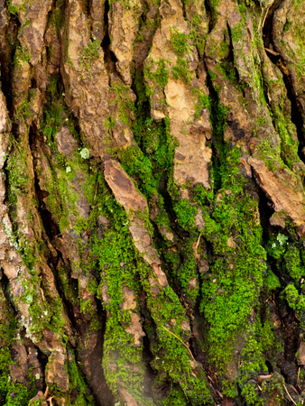 Detail of green moss growing on the bark of a tree in Bear Brook State Park in New Hampshire.