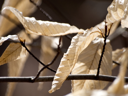 Dried leaves cling to a branch in the sunlight. Standard-Bild