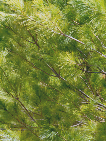 Background image with pine tree branches in sunlight.