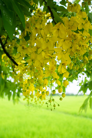 Multiply or Ratchaphruek flowers (Dok Koon) in Thailand usually bloom in the summer with raining