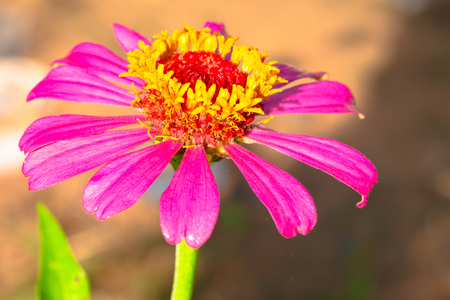 Pink flower, zinnia and sunshine in the morning. Select focus shallow depth of field and blurred background