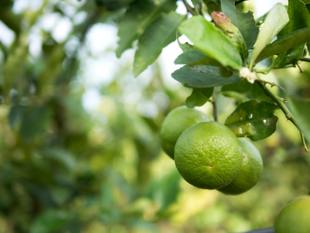 Close up green lime on trunk and blurred background with copy space. Lemon is rich in flavonoids. Helps to reduce inflammation. And to control blood pressure. Help inhibit the spread of germs. Cancer prevention at the beginning. Zdjęcie Seryjne