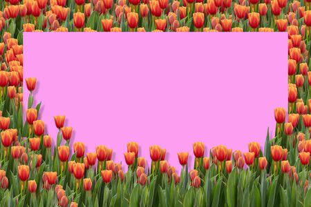Orange tulips on the pink backgrounds. Beautiful blooming flowers in the springtime.