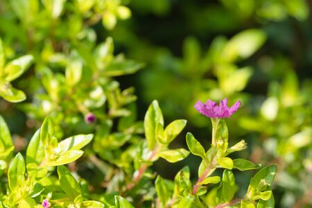 False Heather or Elfin Herb with blurred background. Cuphea hyssopifolia Kunth with sunlight. Flowers and young shoots used to boil and drink, cure phlegm disease Planted as a fence and decorated. Select focus shallow depth of field.