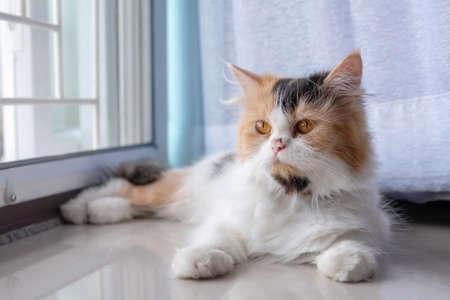 Cute Persian cat 3 colors lying on the floor