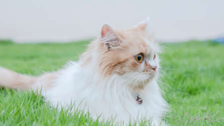 Close-up a Persian cat is staring in the lawn.