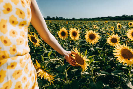 Beautiful young caucasian woman in dress at sunflower field, touches a sunflower head. High quality photo 스톡 콘텐츠 - 152200082