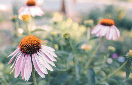 bright floral background with blooming echinacea. High quality photo.