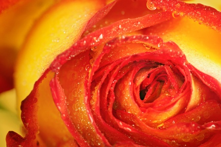 rosas naranjas: Disparo macro de amarillo y rojo rosa con gotas de lluvia.