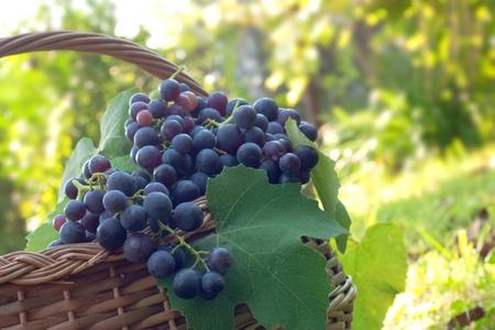 brushwood: Freshly harvested grapes in the brushwood basket.