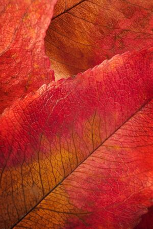 chlorophyll: Detailed close-up of red rotting autumn leaf.