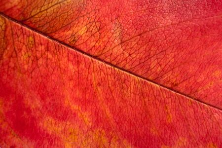 rotting: Detailed close-up of red rotting autumn leaf.