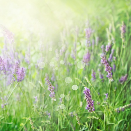garden scenery: Lavender field floral  summer or spring background. Field with lavender flowers and beautiful bokeh lights Stock Photo