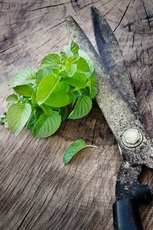 garden tool: Fresh harvested aromatic mint on old wooden background with garden scissors