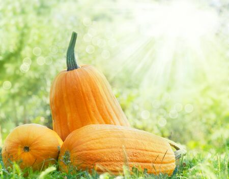 Orange pumpking abstract background. Large pumpkins lying in the summer grass. Stock Photo