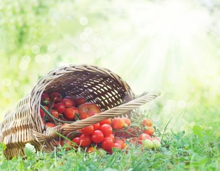tomate cherry: Reci�n cosechadas cesta grande de tomates lleno de tomates cherry tirado en el c�sped de verano.