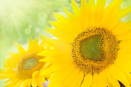 Yellow abstract Sunflower background with bokeh lights Stock Photo - 10682408