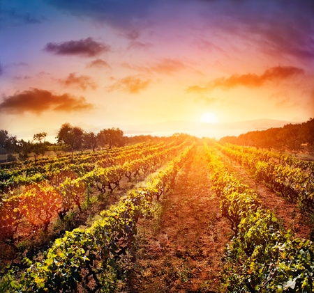 field sunset: Beautiful vineyard landscape with rows of vines and sea with sunset in the background