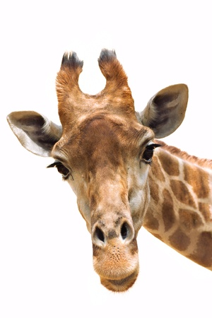jirafa: Cerrar un disparo de cabeza de jirafa aislar en blanco Foto de archivo