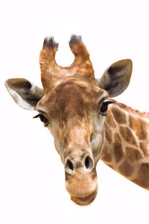 head close up: Close up shot of giraffe head isolate on white Stock Photo