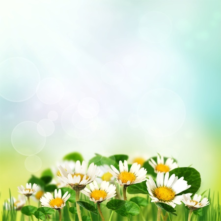 Sspring daisies photo