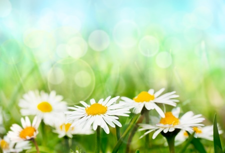 Spring daisies photo