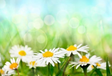 daisy flower: Spring daisies Stock Photo