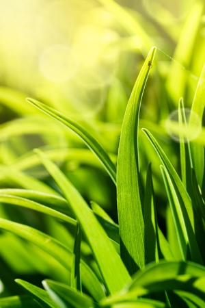 Beautiful green macro image of fresh spring grass.Small spider is starting to build his web. Stock Photo - 11227565