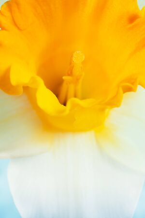 Extreme closeup of daffodil flower. photo