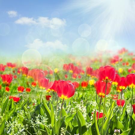 Tulip field Stock Photo - 11226340
