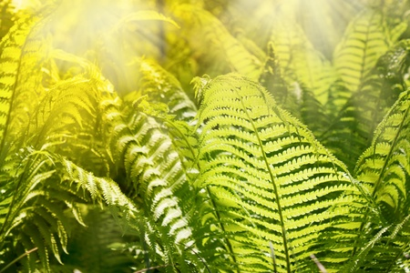 ornamental bush: Fern leaves Stock Photo