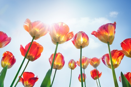 Spring background with red and yellow tulips photo