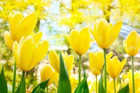 Spring background with beautiful  yellow tulips Stock Photo - 11227399