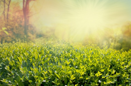 Summer background with hedge Stock Photo - 11226361