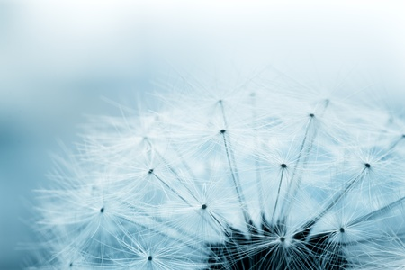wind up: Extreme macro shot of fluffy dandelion seeds