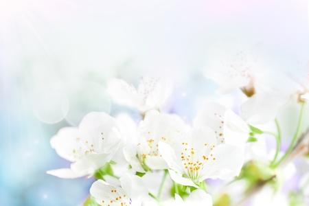 fleur de cerisier: Cerise fleur