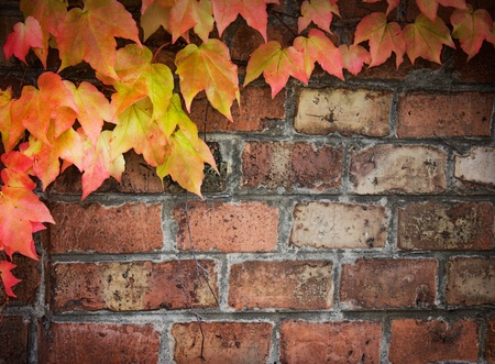 Poison ivy in autumn. Background Coloful ivy leaves over old brick wall with copyspace. photo