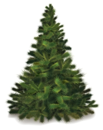 fir: Christmas tree. Realistic illustration of fluffy pine tree