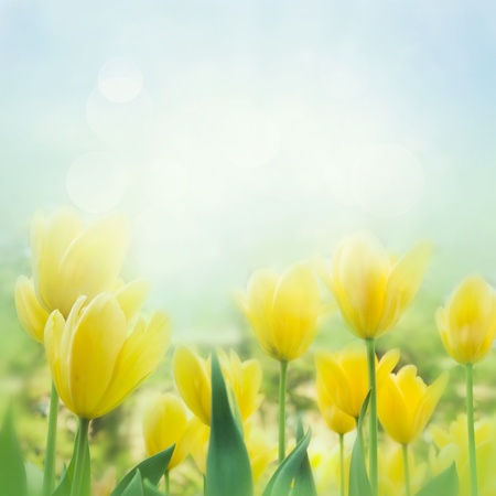 Spring background with beautiful  yellow tulips photo