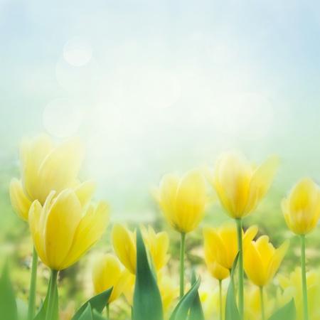 Våren bakgrund med vackra gula tulpaner