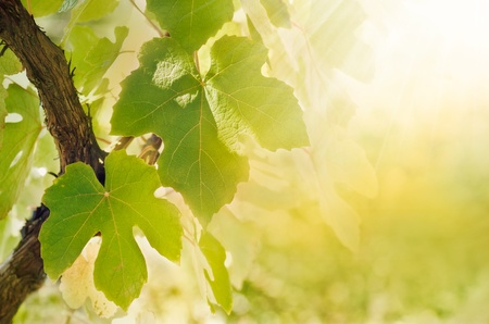 Summer or spring season background with vine leaves in the vineyard and sun rays photo